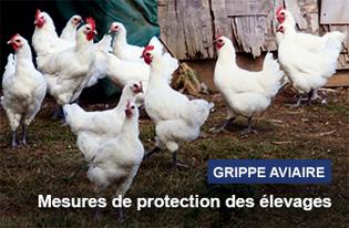Grippe aviaire : passage en risque élevé